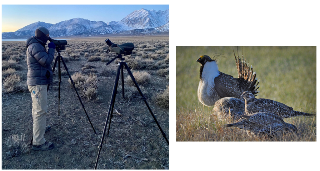 Photo on left of LADWP employee looking through spotting scope in Mono County for sage grouse. Photo on right of four Greater Sage-Grouse.